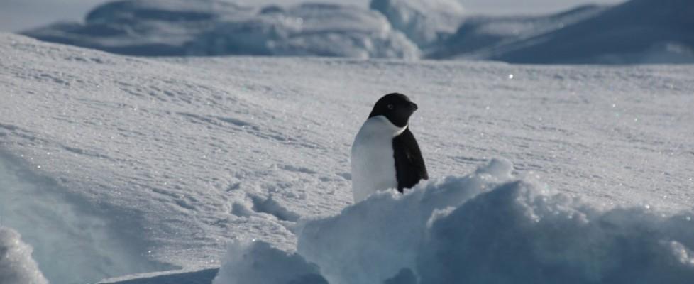 Charlie Drews penguin nyxsgEPWJuYZvQbyCVgiMB_nDOqZijRHklLo-IpL-SY